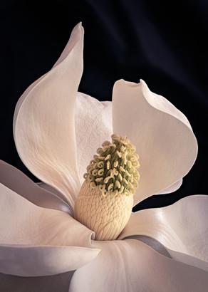Magnolia 5885