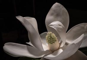 Magnolia 7333