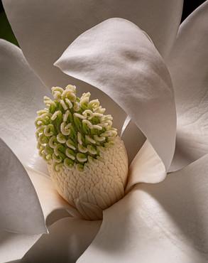 Magnolia 7423