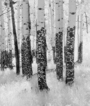 Endo Valley Trees