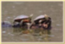 painted turtles.jpg