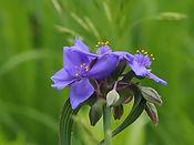 spiderwort_6_19.jpg
