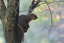 fox squirrel.jpg