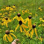 yellow coneflower.jpg