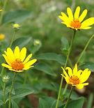 false sunflower.JPG