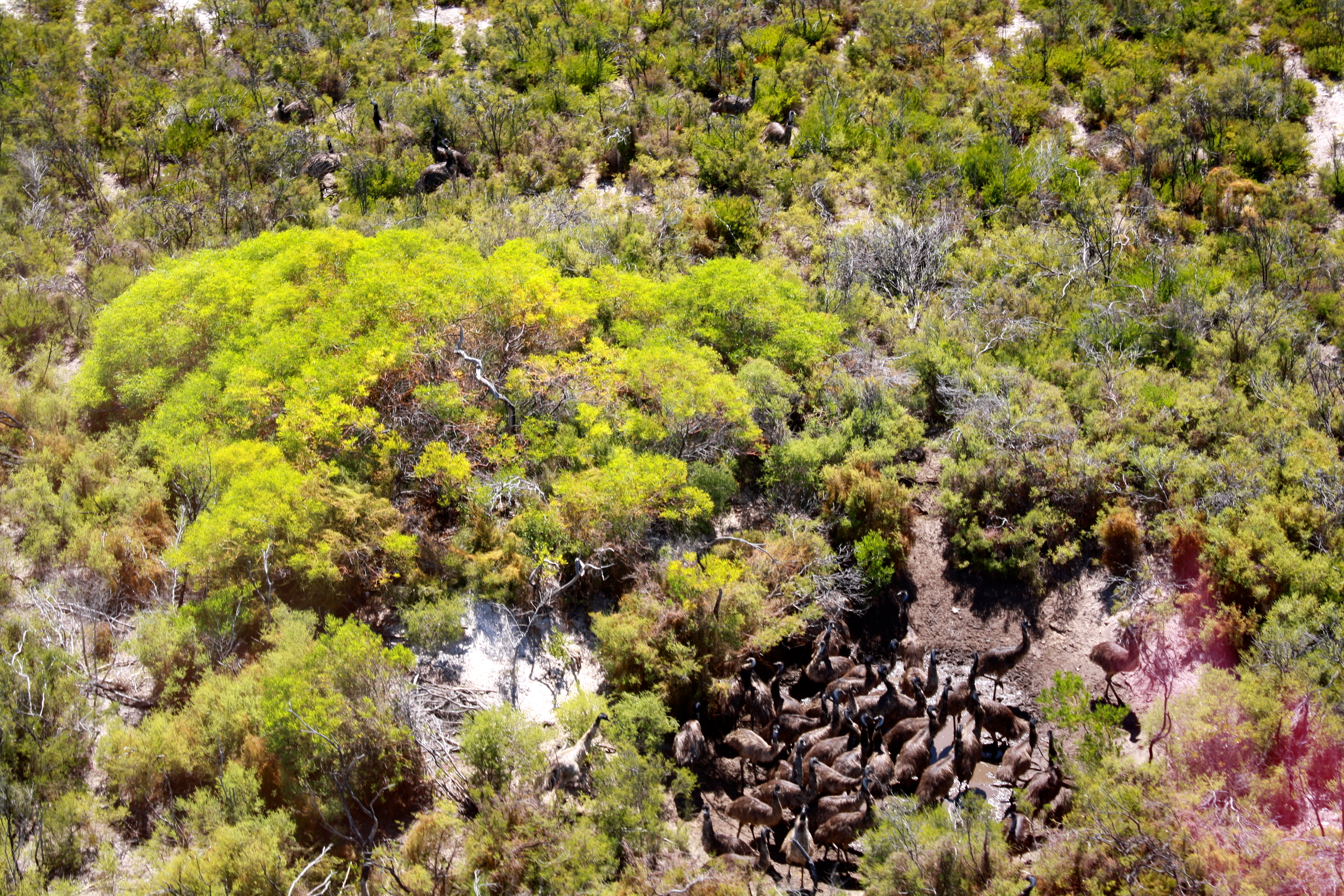 Emus in a waterhole