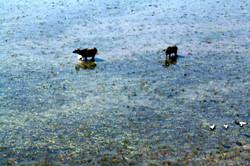 Water Buffalo in the NT