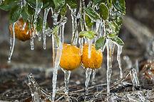 frozen-oranges.jpg