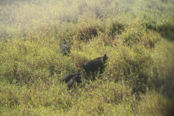 Feral pigs in the NT
