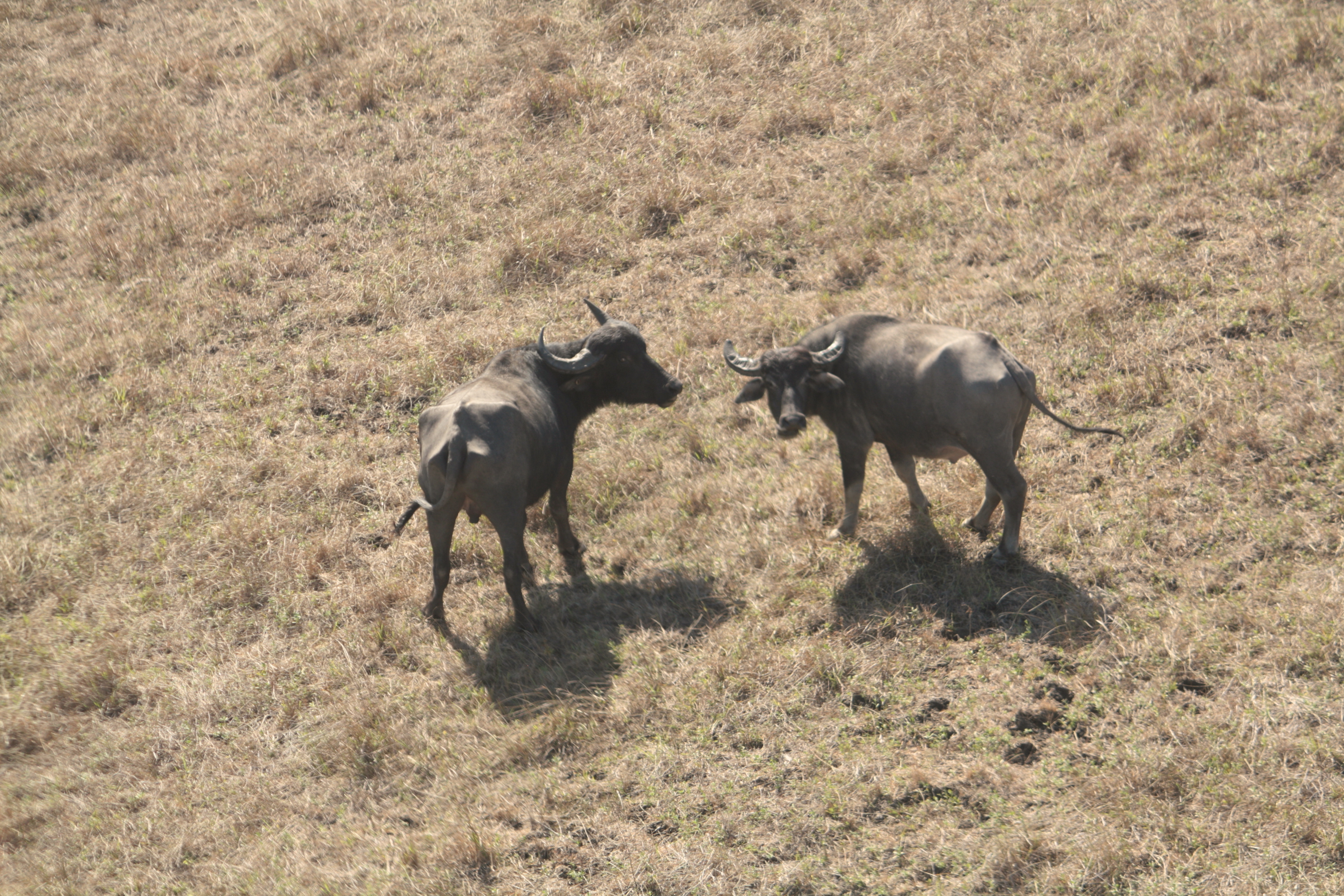 Water Buffalo in the NT