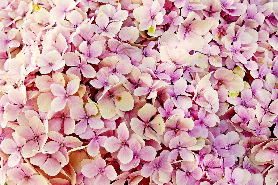 hydrangea-3659614_1920.jpg