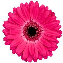 Gerbera-Crush hot pink dark eye.jpg