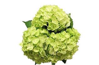hydrangea lt green .jpg