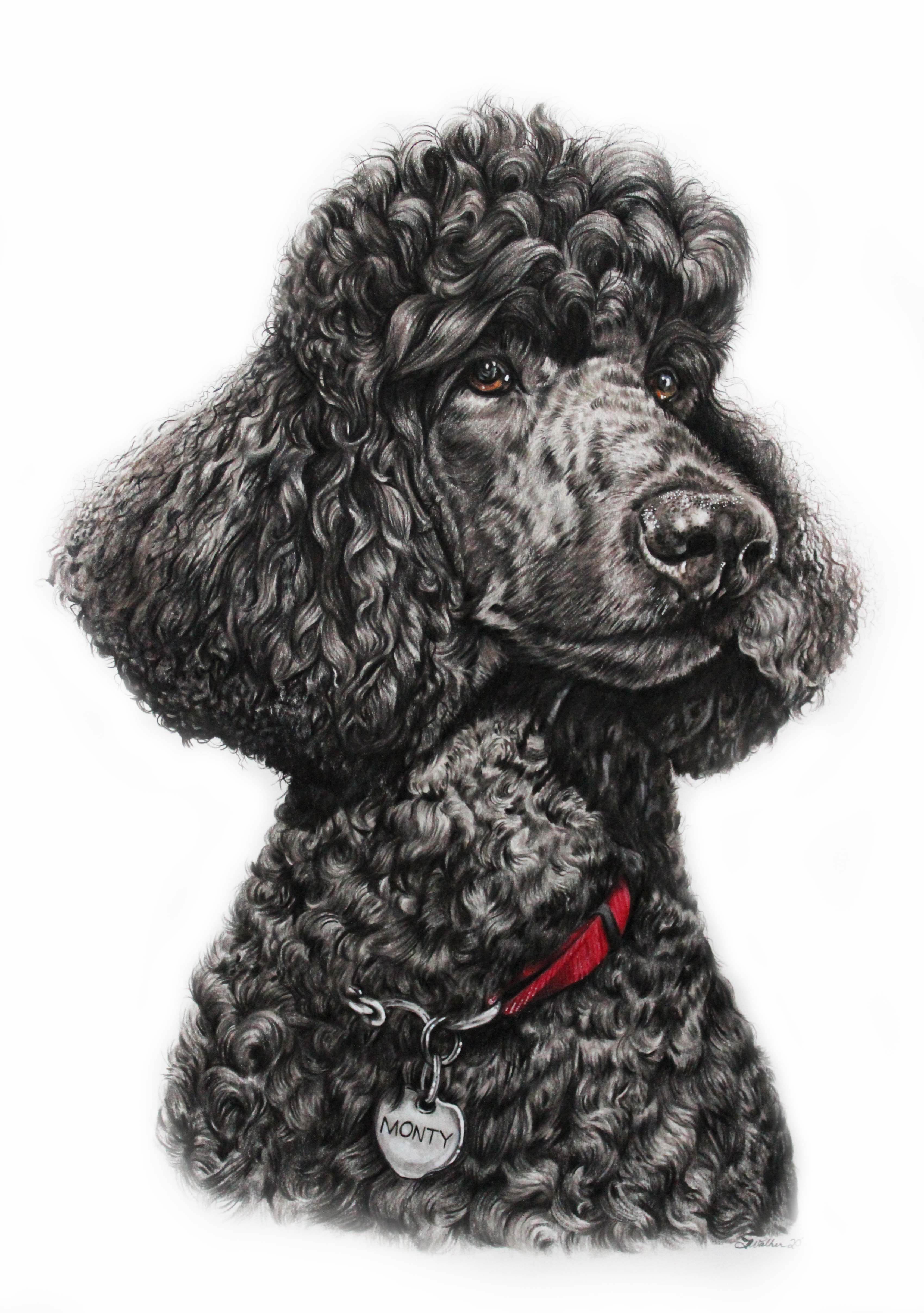 Colored Pencil Drawing of a standard black poodle, TayloredIllustration, Taylor Marie Walker