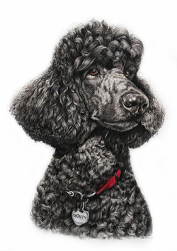 Colored Pencil Drawing of a standard black poodle, TayloredIllustration, Taylor Marie Walker