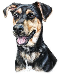 Hand Drawn Pet Portrait, Colored Pencil Pet Portrait of Shepherd Mix Dog by TayloredIllustration