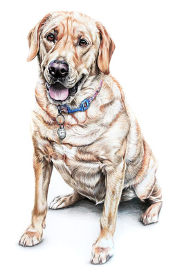 classically hand drawn pet portrait of a Yellow Lab, Labrador Retriever Pet Portrait