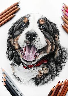 Custom Colored pencil portrait by TayloredIllustration of a Bernese Mountain Dog, Indianapolis Pet Portrait artist