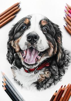 bernese mountain dog pet portrait