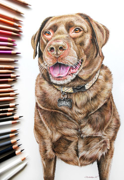 Custom Pet Portrait of a Chocolate Lab, Colored Pencil Drawing of my Labrador