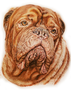 French Mastiff Pet Portrait