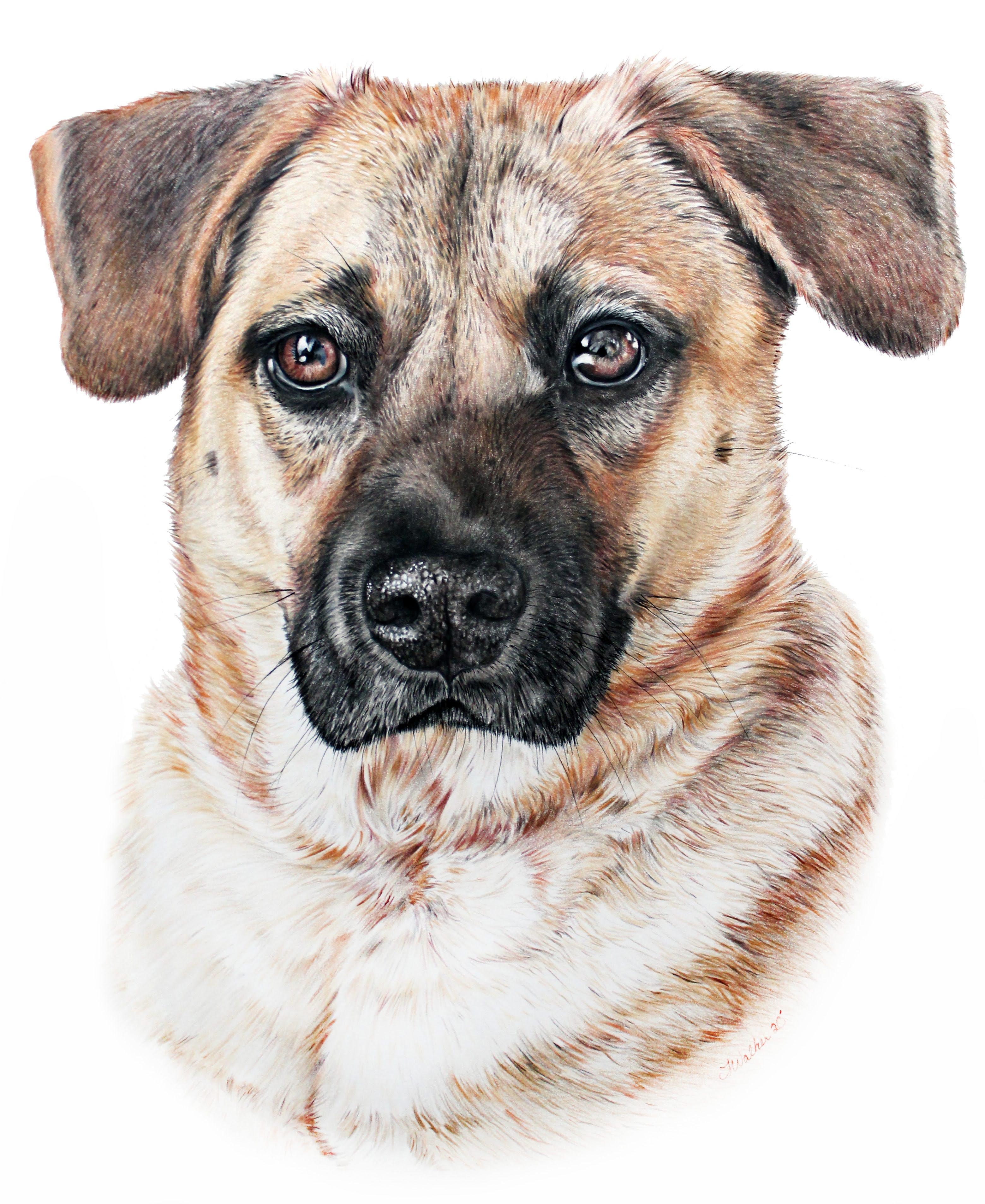 Hyperrealistic Pet Portrait of a Shepherd Mix Dog, Classically Hand Drawn Pet Portrait by TayloredIl