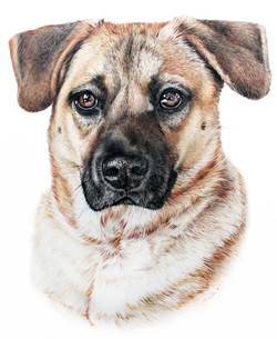 Hyperrealistic Pet Portrait of a Shepherd Mix Dog, Classically Hand Drawn Pet Portrait by TayloredIl