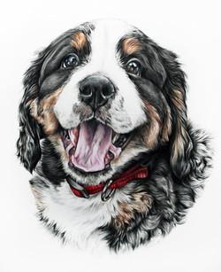 Hand Drawn Custom Pet Portrait of a Bernese Mountain Dog Puppy, TayloredIllustration,  Taylor Marie