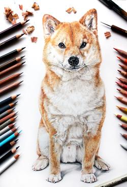Classically hand drawn colored pencil pet portrait of a Shiba Inu