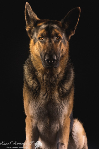 Berger allemand / German shepherd