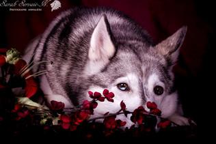 Husky siberian