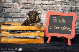 Berger allemand chiot / German shepherd puppy