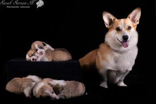 Corgi chiot / Corgi puppy