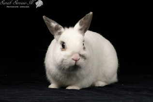 Lapin / Rabbit