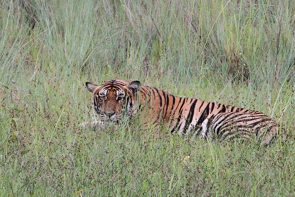 Animalspirit Tiger, Tulukkap Anersaava