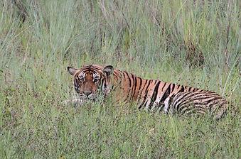 Krafttier Tiger - Tulukkap Anersaava