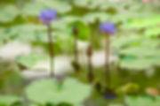 blauer Lotus, Traumtees von Tulukkap Anersaava