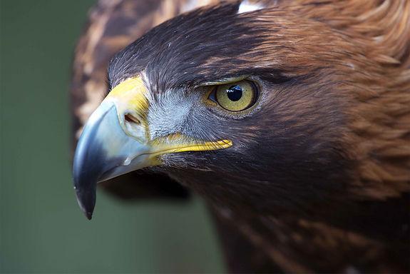 Animalspirit Adler, Tulukkap Anersaava