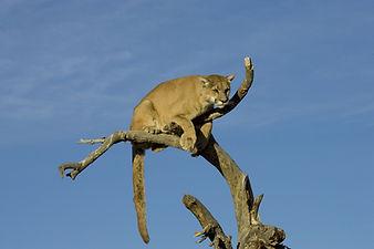 Puma - Tulukkap Anersaava, Der Silberlöwe bringt Voraussicht und Entschlußkraft – Wenn er springt, dann mit all seiner Kraft und Geschmeidigkeit – sein Ziel fest im Blick.  Strebe mit ihm auf den Gipfel und du wirst freie Sicht auf alle Dinge bekommen und feststellen, das Oben und Unten zwei gleichwertige Seiten sind.  Der Puma findet sich überall zurecht, in der Wüste und im Regenwald, im Hochgebirge und im Sumpf und ist ein guter Seelenführer, der geheime Wege kennt und sichere Umwege.        The silver lion brings foresight and decision-making - if he jumps, then with all his strength and suppleness - his goal firmly in view. Strive with him to the summit and you will get a clear view of all things and find that up and down are two equivalent pages. The Puma can be found everywhere, in the desert and in the rainforest, in the high mountains and in the marsh, and is a good soul leader who knows secret paths and safe detours.