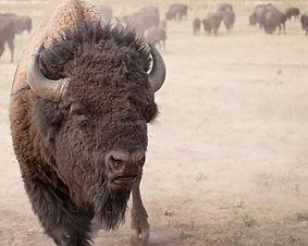Krafttier Bison - Tulukkap Anersaava
