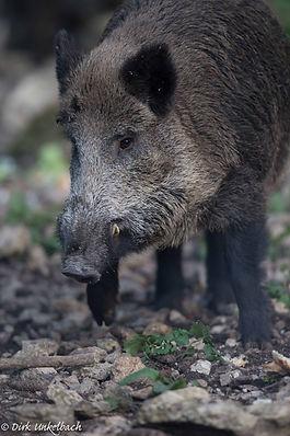 Animalspirit Wildschwein, Tulukkap Anersaava