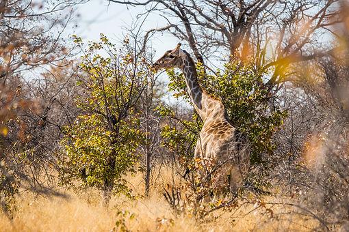 Animalspirit Giraffe, Tulukkap Anersaava