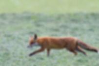 Krafttier Fuchs - Tulukkap Anersaava