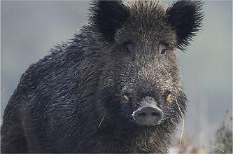 Krafttier Wildschwein - Tulukkap Anersaava