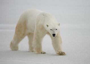 Krafttier Eisbär,  Nanoq, der Eisbär ist der Größte der Bärenfamilie und das größte an Land lebende Säugetier. Im Gegensatz zu seinen Verwandten, den Braunbären hält er keinen Winterschlaf – der Winter ist die beste Zeit um Robben auf dem Packeis zu jagen.  Der Eisbär hat eine enge Verbindung zum Großen Geist und bringt uns dadurch den Geheimnissen des Lebens näher. In Grönland heißt er auch Tornassuk, der Herr der helfenden Geister.  Ein anderer spiritueller Name ist `der Große Wanderer`- er bereist alle Welten. Er ist schnell – an Land und im Wasser. Er klettert und taucht. Er meistert die extremsten Situationen und ist sehr anpassungsfähig. Er ist so gut gegen die Kälte der Arktis isoliert, das Infrarot Aufnahmen von ihm nicht möglich sind.     … er gibt niemals auf ...        Nanoq, the polar bear is the largest of the bear family and the largest on land mammal. In contrast to his relatives, the brown bear he does not have winter sleep - the winter is the best time to hunt seal