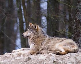 Krafttier Wolf - Tulukkap Anersaava
