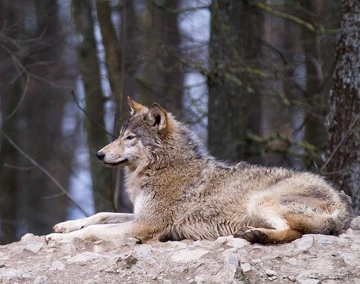 Animalspirit Wolf, Tulukkap Anersaava