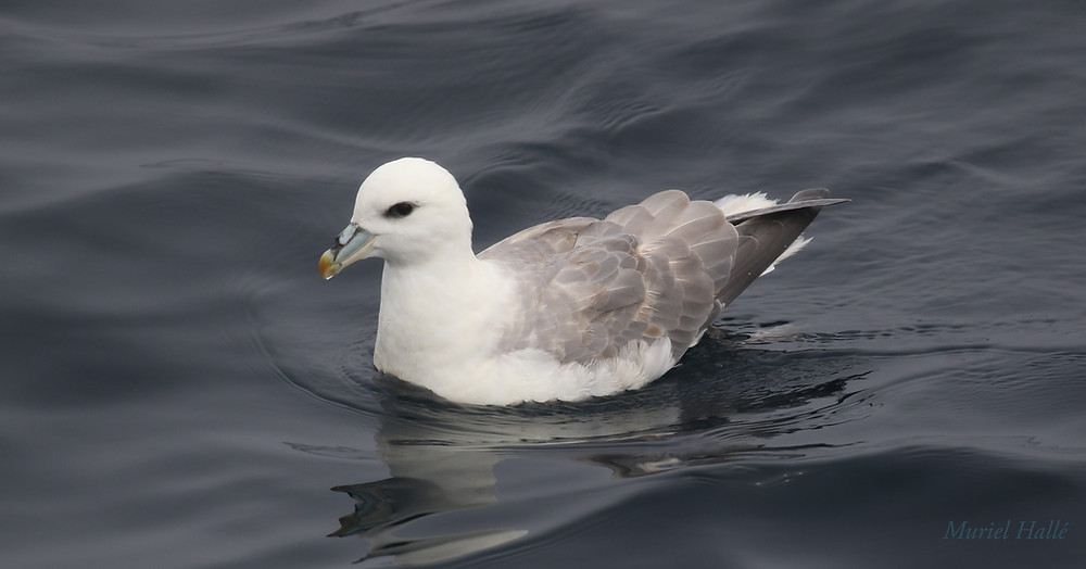 Fulmar on the water