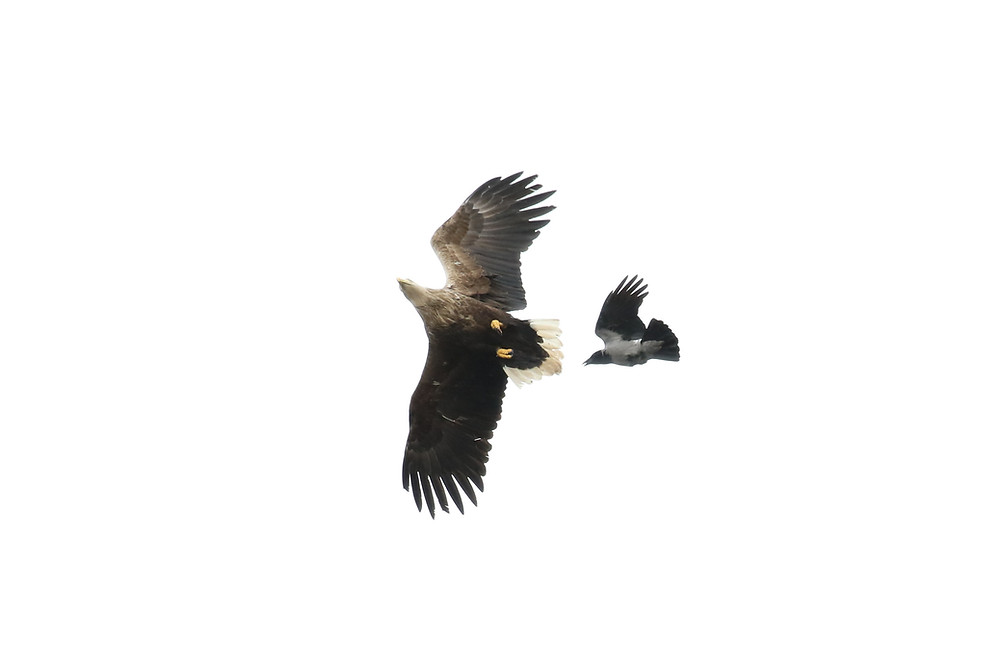 White tailed eagle being mobbed by a hooded crow