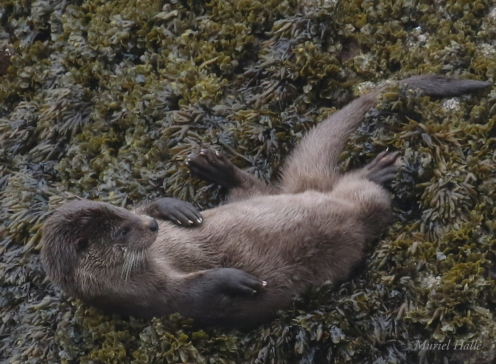 Otter relaxing